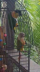 Black headed caique & pineapple conure with cage and indoor perch Mermaid Waters Gold Coast City Preview