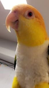 Gonna be 3 year  old caique