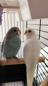 White Budgie for sale