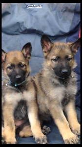 Rare German shepherd puppies 7 weeks old Caboolture Caboolture Area Preview