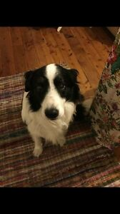 Pure breed long haired female border collie wanted Moree Moree Plains Preview