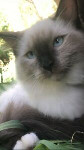 Ready to go now ragdoll pedigree desexed male