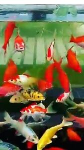 Butterfly gold fish