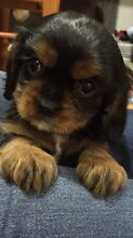 King Charles Cavalier Puppies, 3 LEFT Robina Gold Coast South Preview