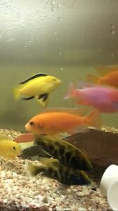 African cichlids for sale Miranda Sutherland Area Preview