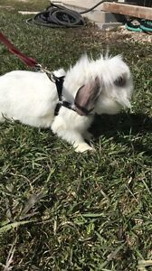 Femail bunny for sale