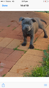 English blue staffy pup Lara Outer Geelong Preview