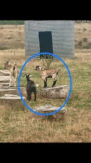Miniature buck goats