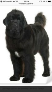 Recherche chien Terre-Neuve ou Bouvier Bernois race pure!