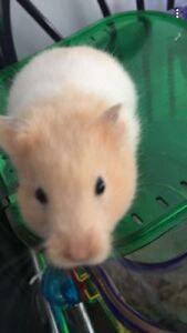 Hamster with cage, food, ball, and cage shredding!