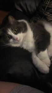Fixed Female Cat, 3 Years Old