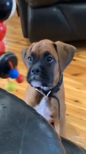 Boxer Puppy - Missing!