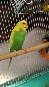 Two beautiful budgies for sale