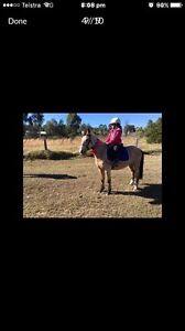 Paint bred filly -- TB ride/breed --- buckskin pony Farley Maitland Area Preview