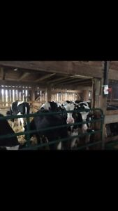 Veal/Beef calves for sale