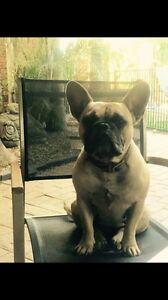 French bulldog x pug Broadbeach Gold Coast City Preview