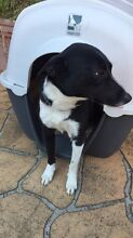 Border collie x fox terrier Roselands Canterbury Area Preview