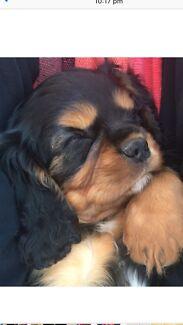 Male Cavalier Puppy