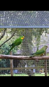 Breeding pair of superb parrots Medowie Port Stephens Area Preview
