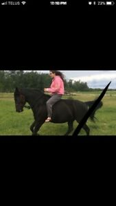 Zipper 2011 Tennessee walking horse for sale