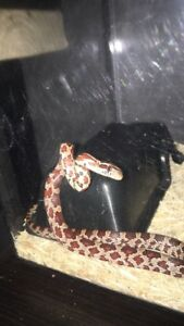 4 month old Normal Corn snake