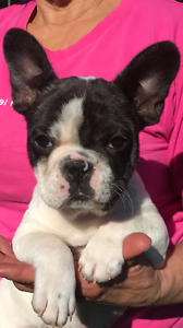 French Bulldog Puppy Richmond Hawkesbury Area Preview