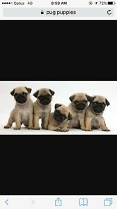 Wanted to buy pug puppy. Bundaberg North Bundaberg City Preview