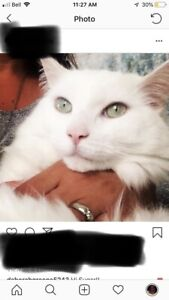 Lost White Cat in Cambridge.