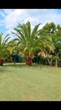 Canary Island Palm Edens Landing Logan Area Preview
