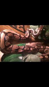 Serpent python royal très docile 60$