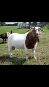 Billy goat wanted
