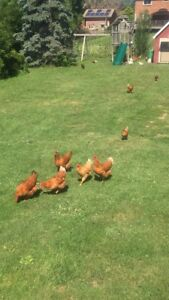 **8 month old laying hens ***