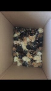 Heritage Chicks For Sale!