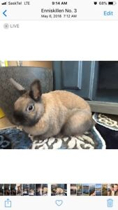Dwarf litter-trained spayed Bunny plus everything you need