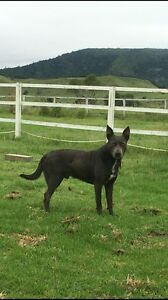 Pure bred kelpie Palen Creek Ipswich South Preview