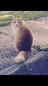 Beautiful cat to good home Toowong Brisbane North West Preview