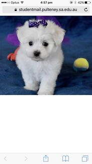 Wanted: ANYONE KNOW ANYBODY WHO SELLS MINITURE MALTESE OR SHITZU PUPS??