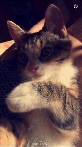 Female 7 month old kitten