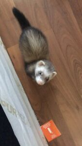 2 ferrets for sale (cage included)
