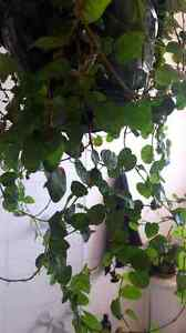 Ficus Pumila - Creeping Fig [1 year old] Clifton Hill Yarra Area Preview