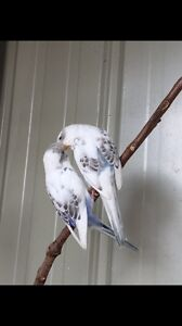 Young budgies Tarneit Wyndham Area Preview