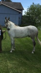 Registered and Branded Andalusian Gelding