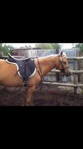 Beautiful palomino pony Cambooya Toowoomba Surrounds Preview