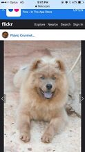 Chow chow puppy !!! Peregian Beach Noosa Area Preview