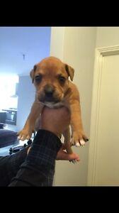 Boxer cross American bulldog pups Gosnells Gosnells Area Preview