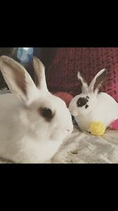 Looking for a loving home for two male bunnies