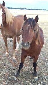 Miniature ponies Coolamon Coolamon Area Preview