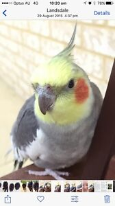 Lost Cockatiel in Lansdale WA **FOUND :D** Landsdale Wanneroo Area Preview