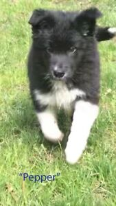 Registered Border Collie puppies - only 1 left!