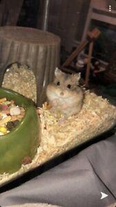 Hand Raised Russian Hamster and setup